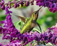 Anna's Hummingbird at Salvia